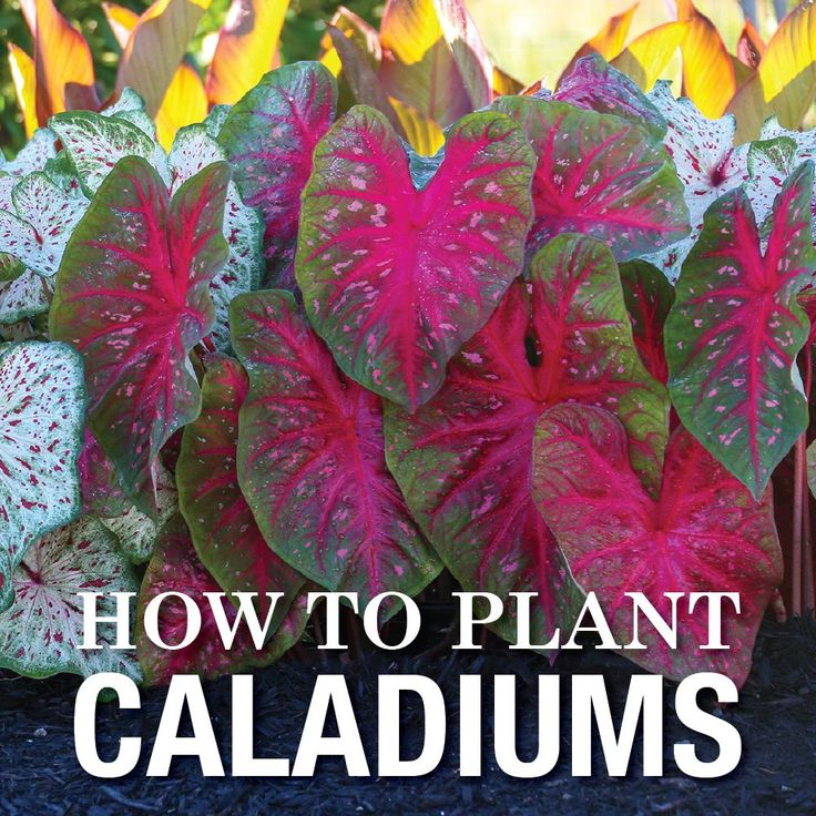 Great how-to video on planting caladiums in your garden.