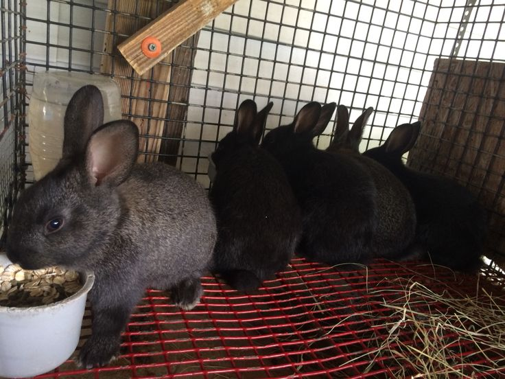 Feeding Time! An older picture of Cali the Californian's April 2015 litter. The sire is an Opal New Zealand x Mini Rex mix which is why they are various colors (a gold tipped steel in front) and don't look like their Californian mama.