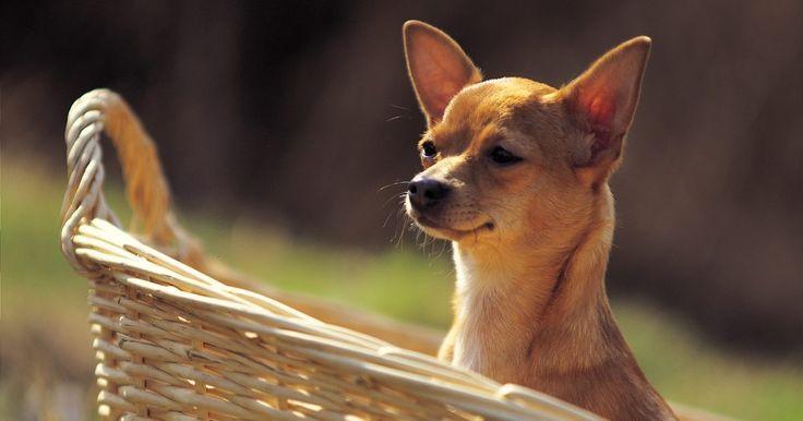 ¿Cómo puedo distinguir qué clase de chihuahua tengo?. Los chihuahuas son la raza de perros más antiguas del continente americano y también los más pequeños. Es un perro inteligente y puede ser criado por la gente. Las distintas clases de esta raza varían según la forma de su cabeza, su color y su pelaje. Estos perros no se distinguen por su peso y tamaño, aunque algunos criadores los llaman ...