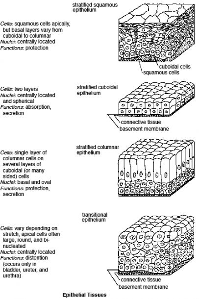 Types Of Epithelial Tissue Worksheet in 2020   Tissue ...