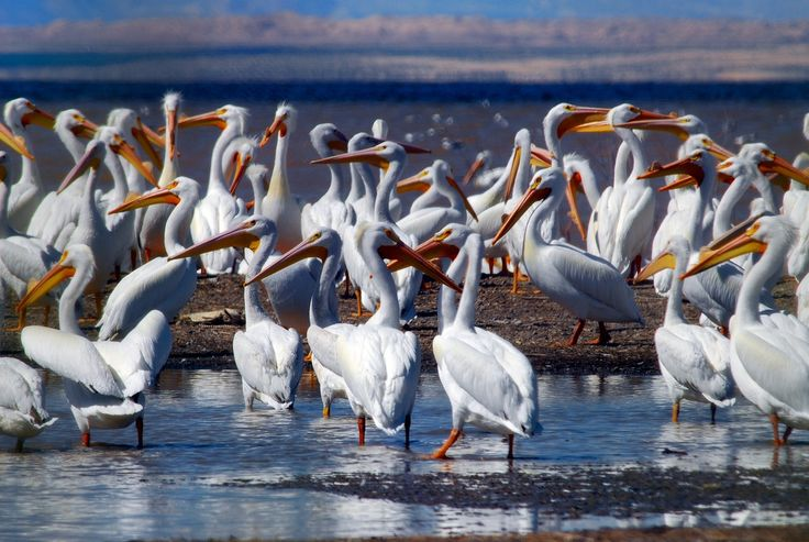 The Salton Sea in Southern California is a critical stop for migratory birds on the Pacific and Central Flyways. More than 400 species of birds, including 80 percent of the western population of American White Pelicans, one of the largest North American birds, use the system.  Birds banded at the Salton Sea and reported to the USGS Bird Banding Laboratory have been recovered throughout North America. The combination of avian biodiversity and importance as a breeding habitat is unsurpassed by…