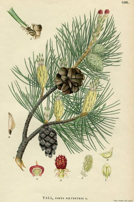 Pinaceae Pinus sylvestris, Scotch pine.