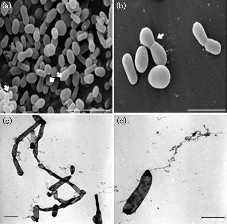 Hasllibacter halocynthiae  [000.003.937]