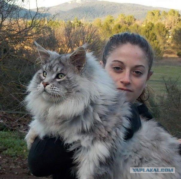 Кошки породы мейн-кун