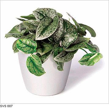 17 Best Images About Hardy Air Cleaning Plants On 640 x 480
