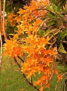 Orquídea Dendrobium Stardust Firebird - Adulta