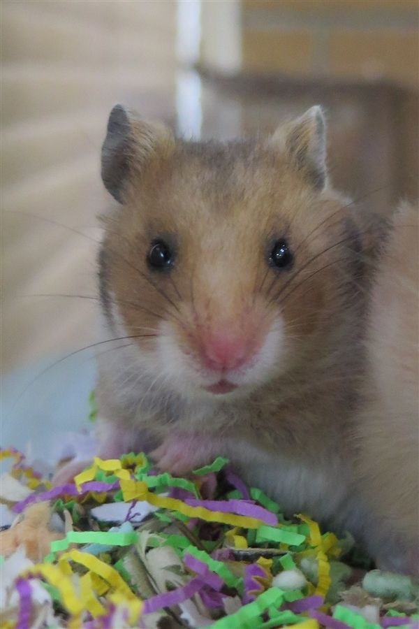 Luda is an adoptable hamster searching for a forever family near West Vancouver, BC. Use Petfinder to find adoptable pets in your area.