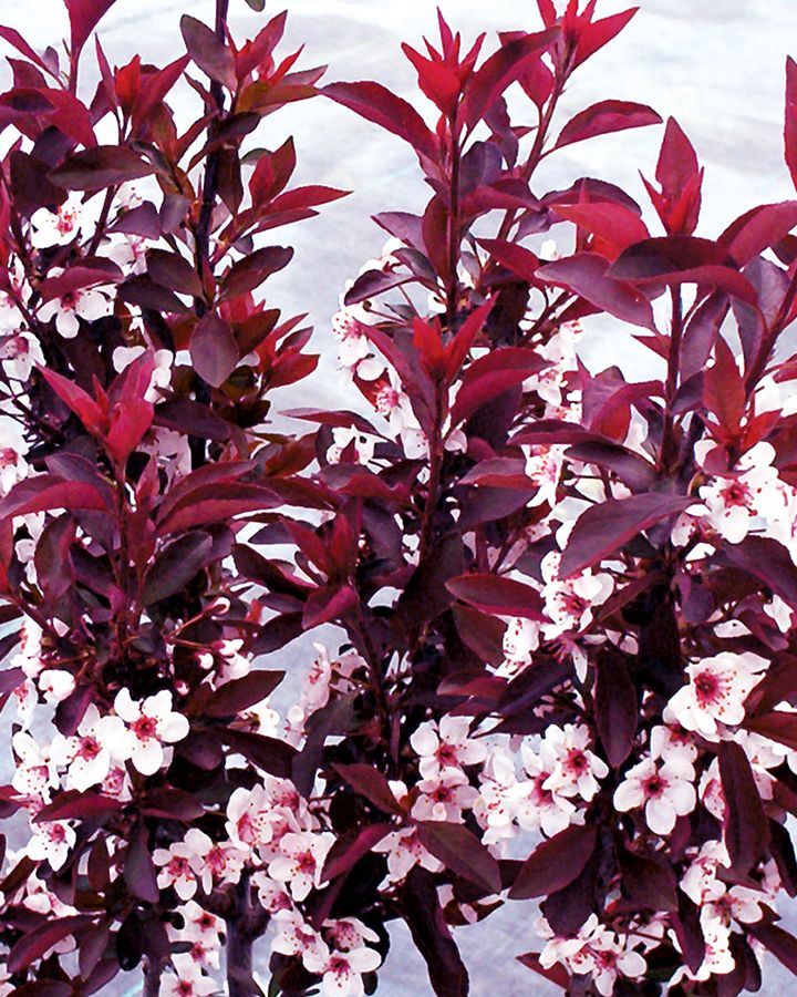 Use TERRA's nursery plants for designing your garden and don't forget to include tree & bushes, it will increase the beauty of your place. Terra Greenhouse provides healthy and quality of trees in Ontario.  Product Name:  Purple Sandcherry – Prunus X Cistena Product Details: Height: 7-10 Feet Sunlight: Full Sun Season: Spring - Fall Spread: 5 Feet Plant Type: Perennial
