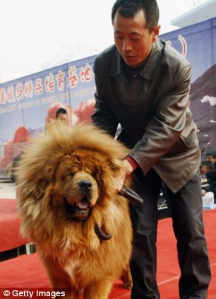 Red Tibetan Mastiff: 'Most expensive' dog sold for nearly £1m ...
