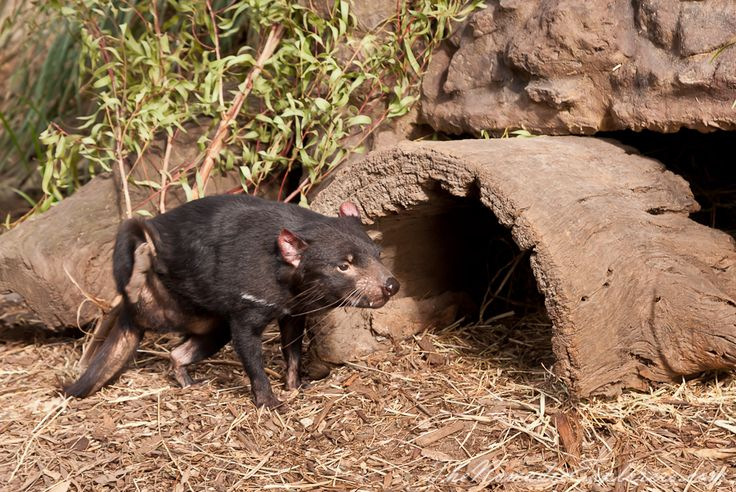 Tasmanian Devil in Melbourne Zoo