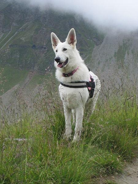 File Berger Blanc Suisse Jpg Hunderassen Schaferhunde Weisser Schaferhund