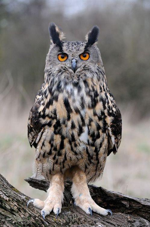 Eurasian eagle Owl via  Lois E.