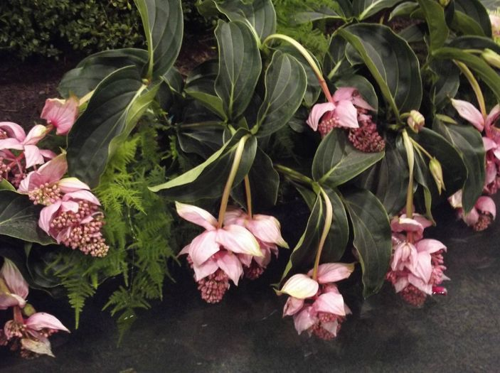 Medinilla magnifica, but wants very high humidity.