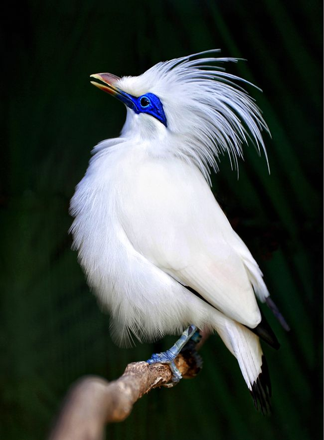 The Bali Myna bird (Leucopsar rothschildi), also known as Rothschild's Mynah, Bali Starling, or Bali Mynah, locally known as Jalak Bali, is a medium-sized (up to 25 cm long), stocky myna, almost wholly white with a long, drooping crest, and black tips on the wings and tail. The bird has blue bare skin around the eyes, greyish legs and a yellow bill. Both sexes are similar.