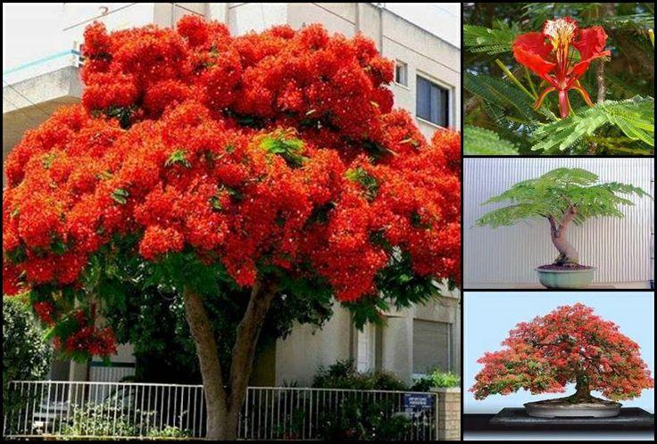 """#JUEVES #DiaDelArbol ☺ Compartimos una foto del #Árbol #Tropical """"Delonix Regia"""" florecido, conocido como malinche, framboyán, #flamboyán, flamboyán rojo, árbol de fuego, tabachín, guacamaya, árbol de lumbre, ponciana, chivato, acacia roja...Originarios de Madagascar, África (donde se encuentran en extinción), se encuentran en otras partes del mundo incluyendo #Panamá, de ellos se hacen hermosos #bonsais."""