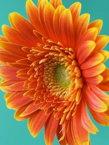 Photographic Print: Orange Gerbera Daisy by Clive Nichols : 24x18in Photographic Print: Orange Gerbera Daisy by Clive Nichols : 24x18in