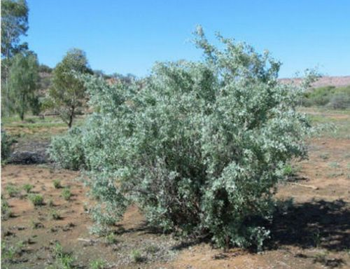 OLD-MAN-SALTBUSH-A-Really-Tough-One-Arid-Living-Frost-Tolerant-Fodder