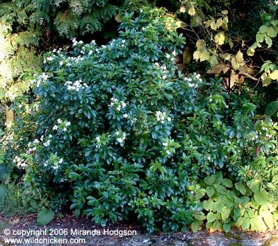 Choisya ternata - whole full sun evergreen fragrant spring to early summer