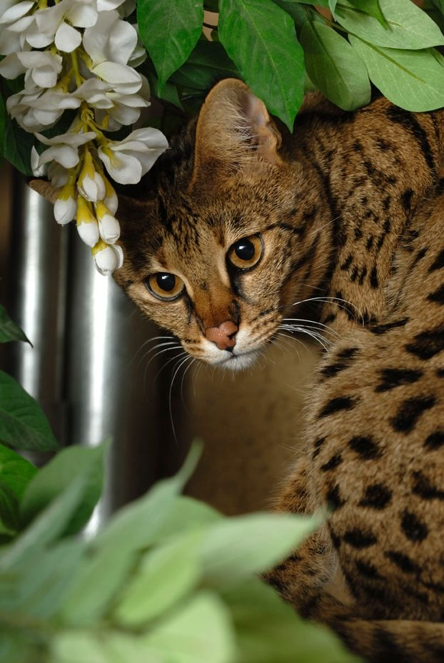 Savannah cat is a domestic hybrid cat breed. It is a cross between a serval and a domestic cat. Savannah cats are one of the larger breeds of domesticated cats. The Savannahs' tall and slim build gives them the appearance of greater size than their actual weight.  The coat of a Savannah depends on the breed of cat used for the domestic cross.
