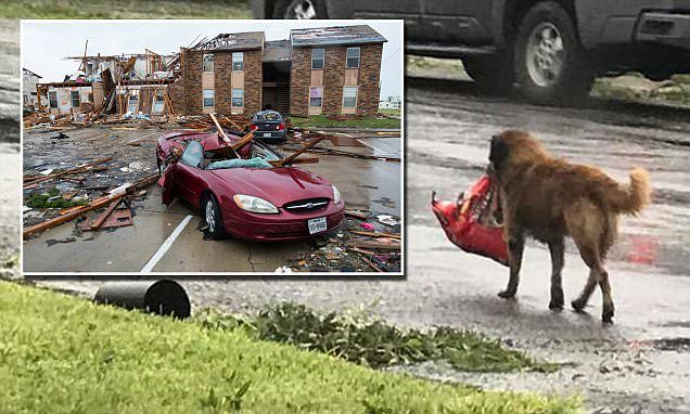 German shepherd mix Otis, from Stinton, Texas, got loose during Hurricane Harvey on Friday night and was photographed Saturday morning carrying a bag of dog food (pictured). #HurricaneHarvey