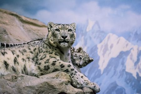 Snow Leopards, Snow Leopard Pictures, Snow Leopard Facts - National Geographic animals.nationalgeographic.com