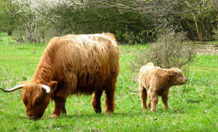 Highland Cow / Schotse Hooglander