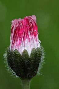Pretty Pink Lawn Daisy