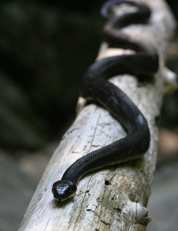 .  Black Rat Snake (by Cristian-M)