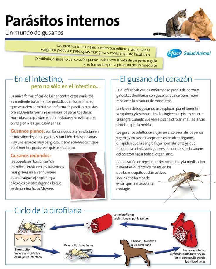 Ciclo de la #dirofilaria #gusanodelcorazon