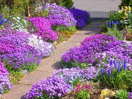 Aubrieta is fantastic for edging a pathway.