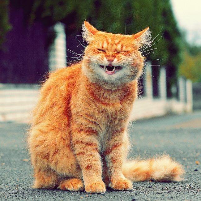 Веселый рыжий кот картинки