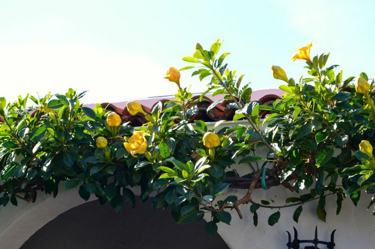Solandra maxima - Vine for the walls on both sides.  Tough as nails in salt winds.  Also across the front of the garage.