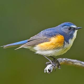 Red Flanked Blue Tail Bird, a.k.a. the Orange-flanked Bush Robin. Breeds in mixed coniferous forests with undergrowth in northern Asia & northeastern Europe, from Finland, east across Siberia to Kamchatka & south to Japan.