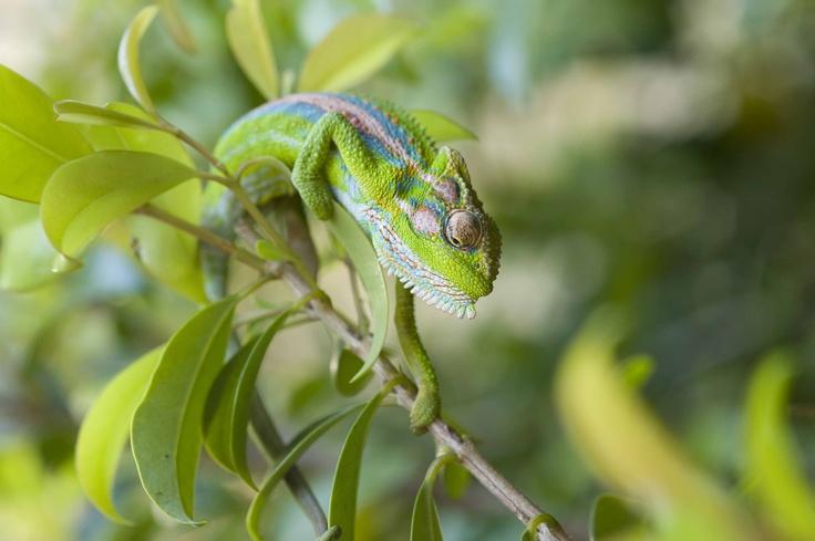 Cape dwarf chameleon on Jordan wine estate