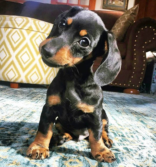 Check the link in @thedoxieworld profile and choose your Dachshund  or hoodie! International shipping!  To be featured Follow us!  Use tag: #thedoxieworld  NOTE! This photo is taken and reposted from:  @hudsontheminidachshund  All images are copyright to their respective owners.