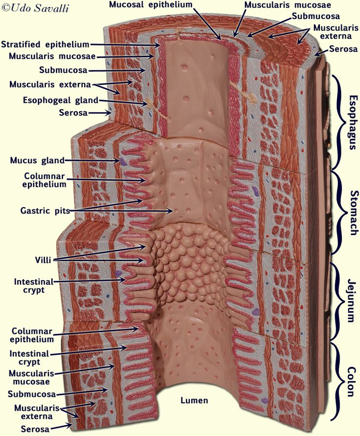 4 Digestive S in addition File Digestive system diagram edit also Trachea additionally HISTOLOGYANSWERSpart12014 moreover Enteric Nervous System Diagram. on layers of digestive tract wall anatomy system 4