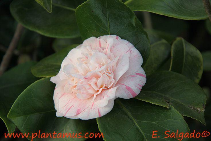 Camellia japonica en Plantamus