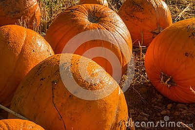 Early morning shot of pumpkins in the field covered in morning dew.