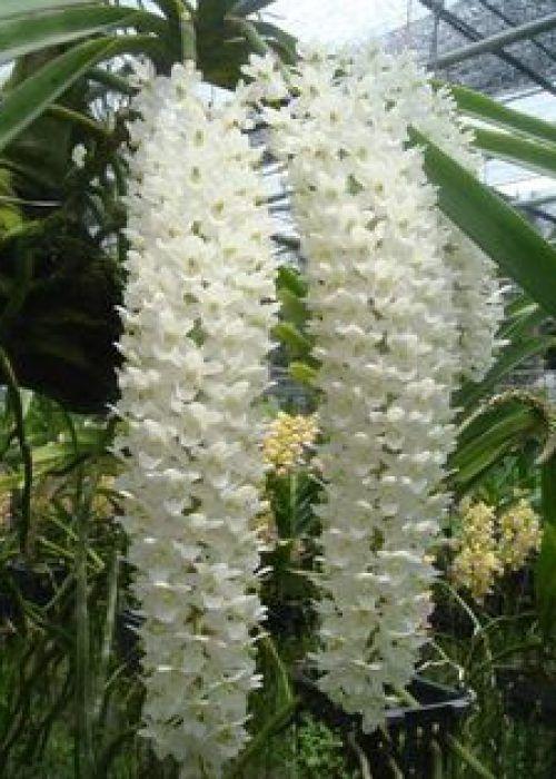 primavera-garden-orquidea-vanda-decoracao-floral-11