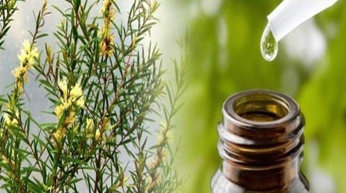 L'arbre à thé est un arbuste qui vient d'Australie. Depuis des siècles, l'huile essentielle extraite de ses feuilles est utilisée par les tribus aborigènes, puis par les colons austra