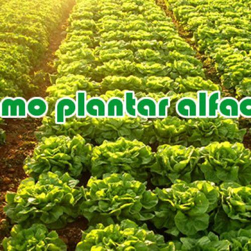 Como plantar alface