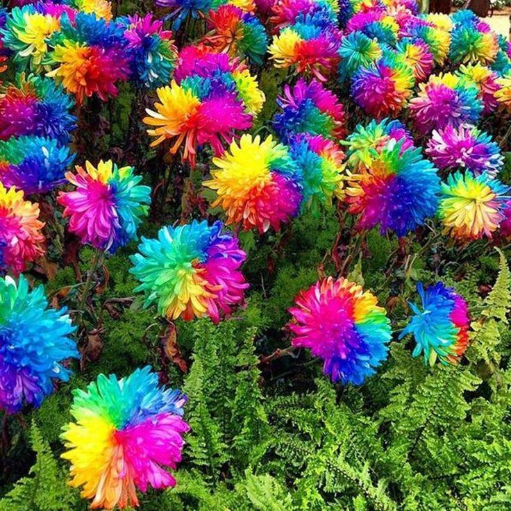 Top 25+ best Rainbow flowers ideas on Pinterest   Rainbow ...