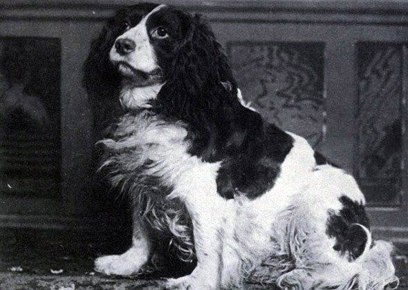 Norfolk Spaniel | Vetstreet.com: 7 Fascinating Dog Breeds That No Longer Exist | XFINITY