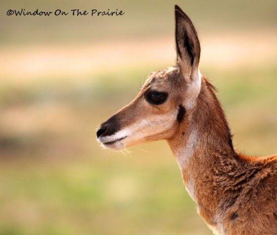 Baby Pronghorn Antelope: Babies, Baby Pronghorn