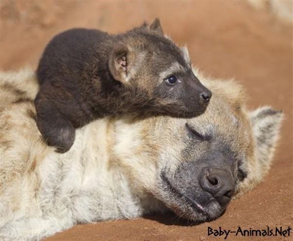 Bebek hayvanlar   #babyhyena  #cutehyena    #littlehyena   #sweethyena    #funnyhyena   #hyena    #hyenagallery  #babyanimals   #cuteanimals  #littleanimals
