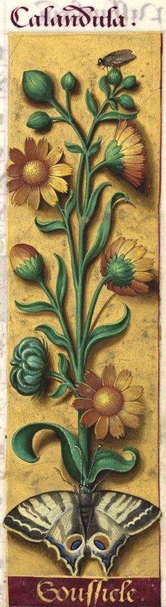 Soussicle - Calandula (Calendula arvensis L. = souci) -- Grandes Heures d'Anne…