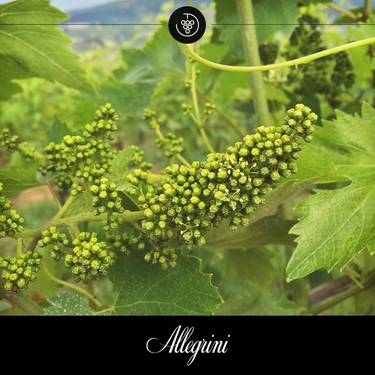 Mother nature & the positioning of the Allegrini Monte dei Galli vineyard, allows the Corvionone vines to flower.
