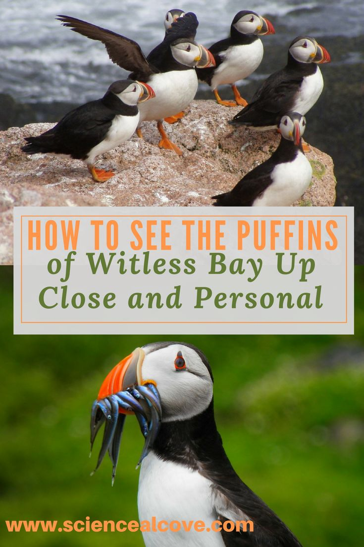 Baby puffins are pufflings. Find plenty of news, facts and pictures about this cool Atlantic bird. #puffin #puffinfacts #puffinfactslife