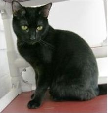 Kerria is an adoptable Domestic Short Hair-Black Cat in Binghamton, NY. Kerria is a shy little girl that warms up to people very quickly. When she trusts you, she is very affectionate and loving. She ...