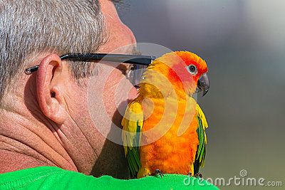 Budgie bird sits on shoulder of mature unidentified male man in public.